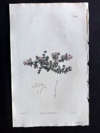 William Curtis 1820 Antique Botanical Print. Arcadian Woodruff 2146